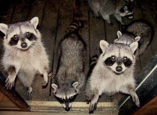 raccoons-trick-or-treating