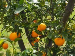 oranges-1117501_640