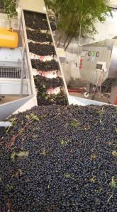 uva da vino 1