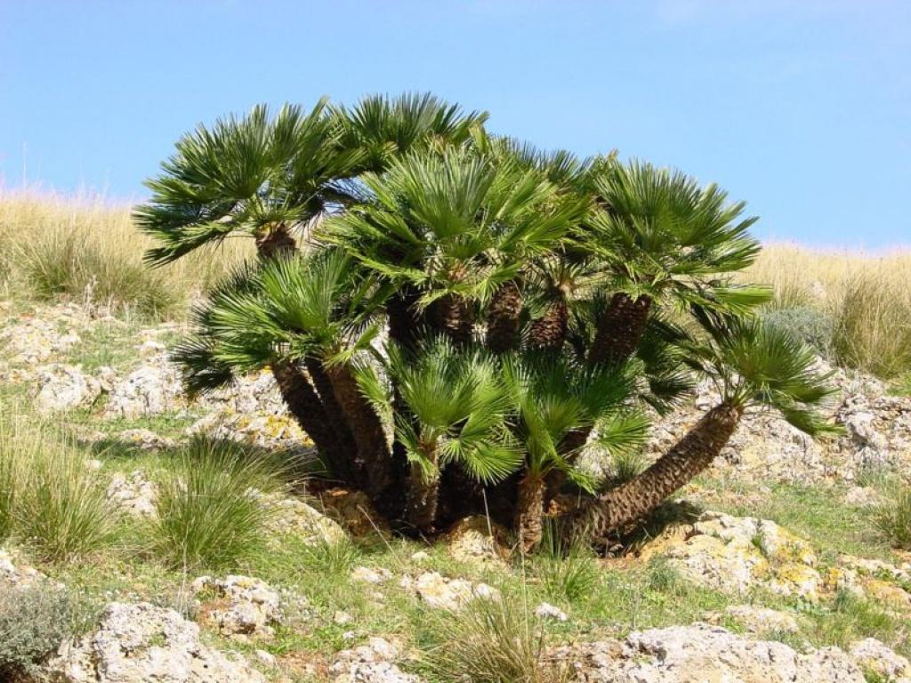 Palma nana  La Palma di San Pietro  SpazioPianteit