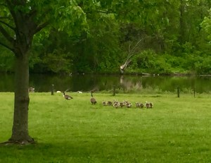 Authentic AAC Sometimes students aren't as excited about geese families.