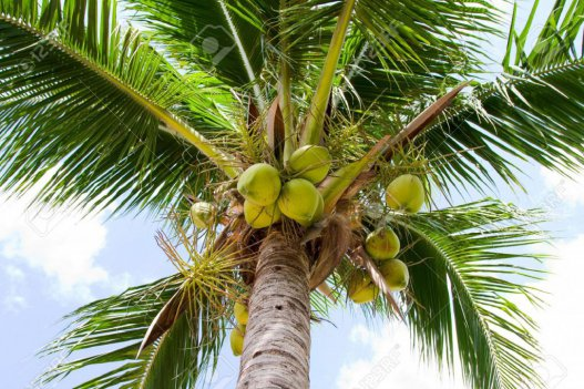 6bd50b01309dabc442f252e83a5050dd - COCONUT SEEDS SEMIHUSKED (click image to view)