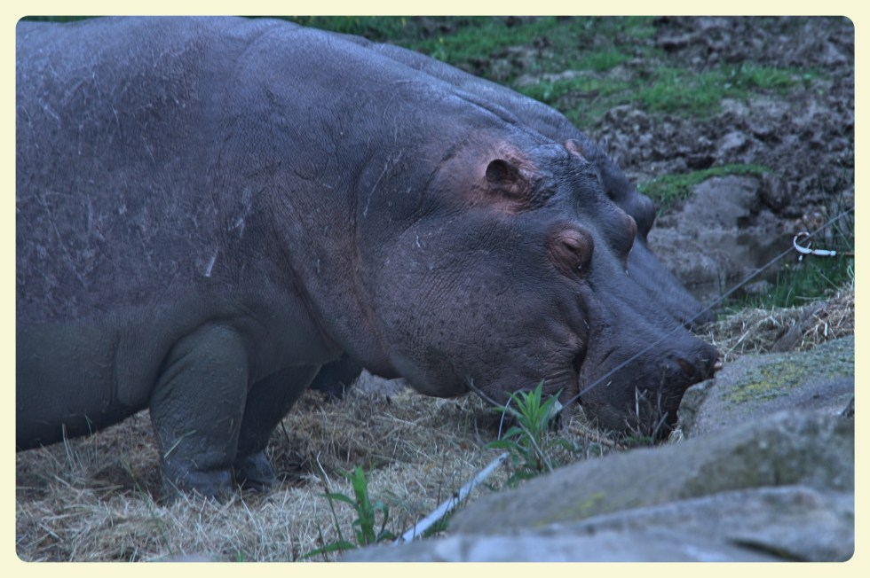 Hippos at the Thoiry Zoo. Special Learning House. www.speciallearninghouse.com
