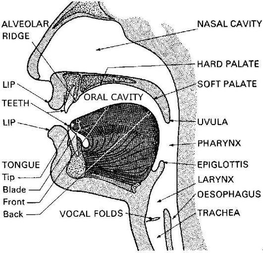 uvula diagram