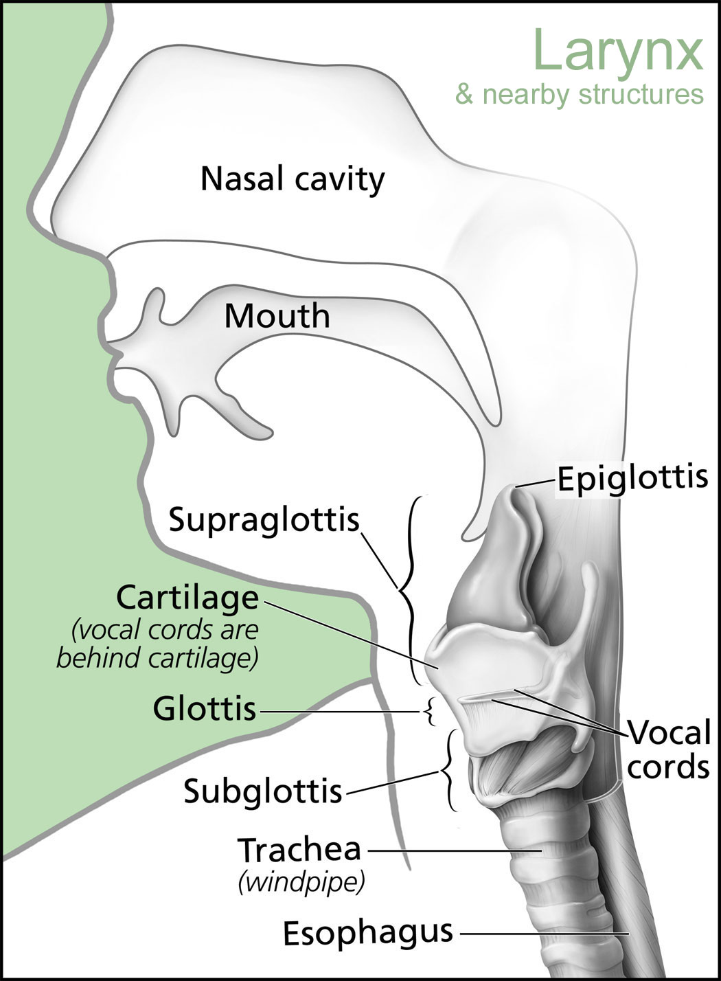 thyroid and larynx anatomy diagram multiple gfci outlet wiring speech evolution or why humans are awesome