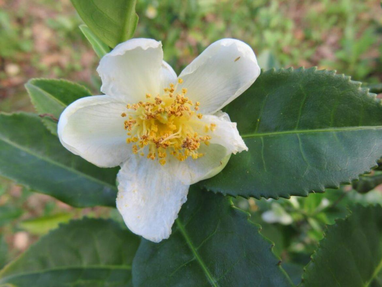 Weiße Blüte der Teepflanze (Camellia Sinensis)