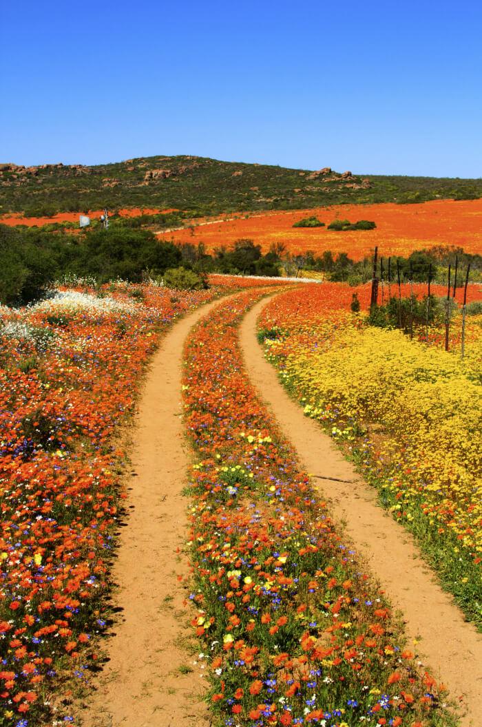 Die Wüste im Namaqualand blüht