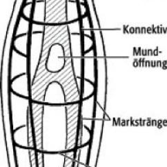 Mollusca Diagram Labeled 1jzgte Vvti Alternator Wiring Nervensystem - Lexikon Der Neurowissenschaft