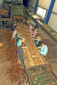 KvdS tulpen sorteren en pellen Schilder (3)