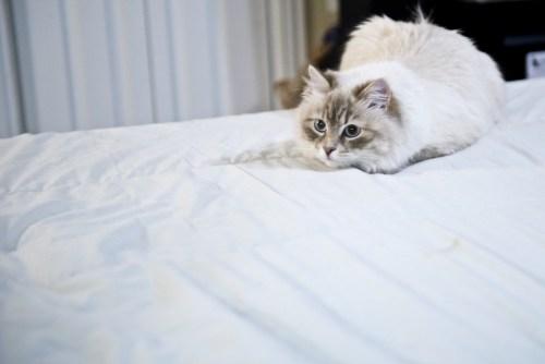 Photo of Spellbound Siberians queen Iriska on bed