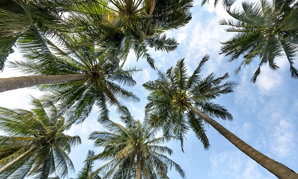 Things to know before traveling to Fiji - Palm trees