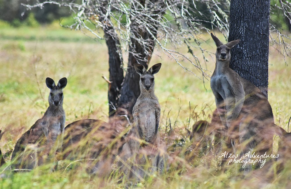 Free things to do in Hervey Bay - Kangaroo spotting