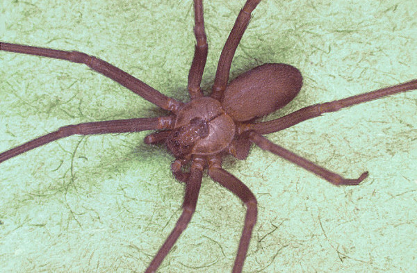 The brown recluse spider is also known as fiddleback spider, brown fiddler, or violin spider
