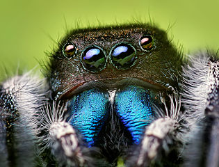 A bite from a jumping spider is typically painful and itchy