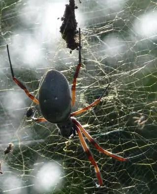 Golden Silk Orb Weaver in web