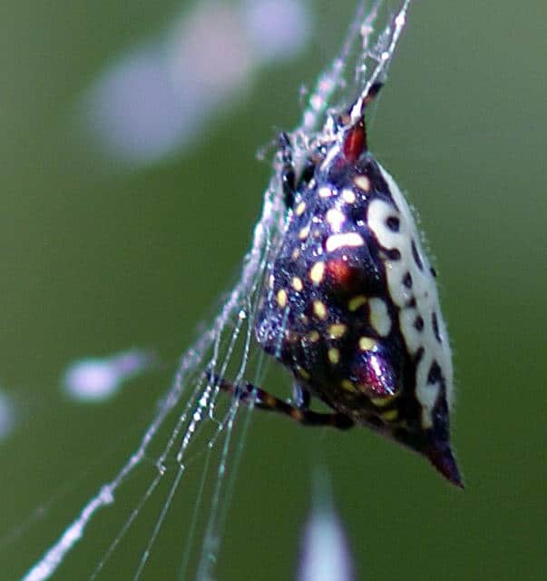 Jewelled Spider side view