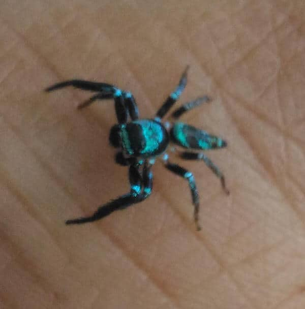 Jumping Spider black iredescent