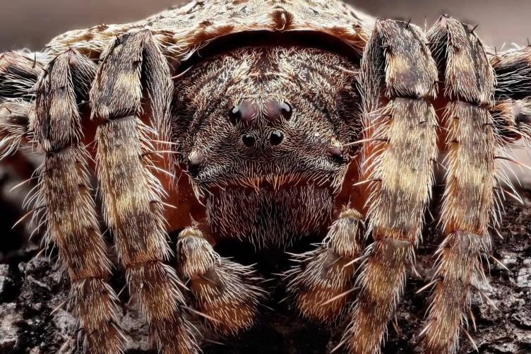 Wraparound Spider – Dolophones closeup eyes