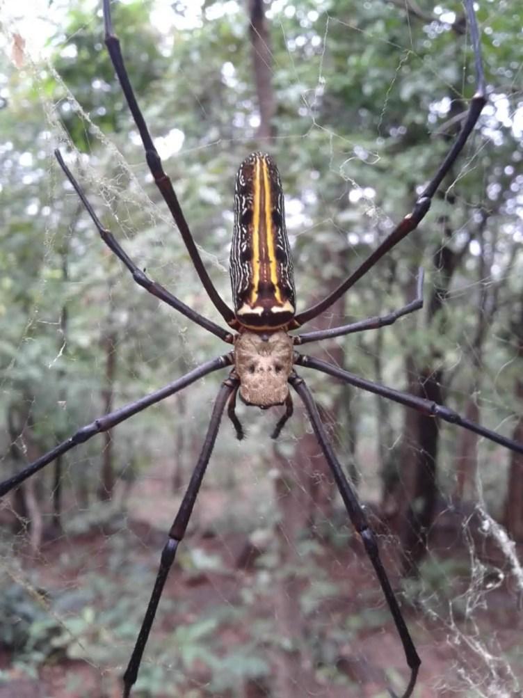 Nephila sp. India