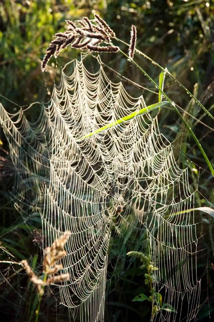 Spider web reflection in morning light orb weaver
