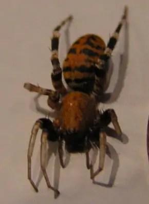 Castianeira amoena spider