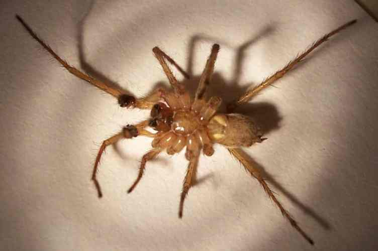 Male hobo spider under side