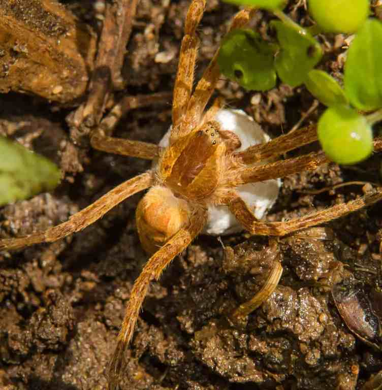 Female Nursery Spider with Egg Sac