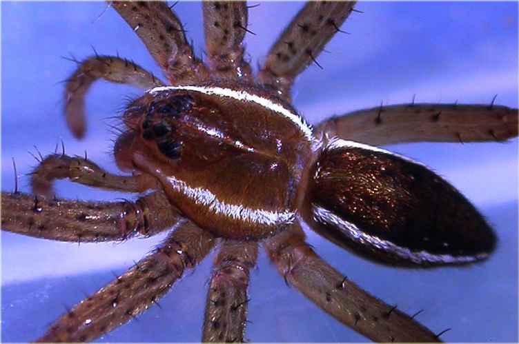 Giant Raft Spider 2