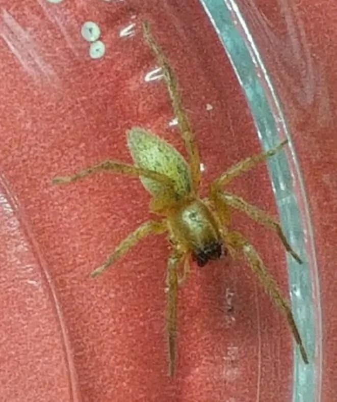 Ghost Spider hibana green