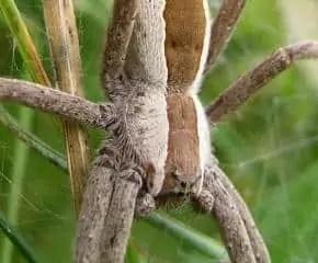 pisaurina nursery web spider