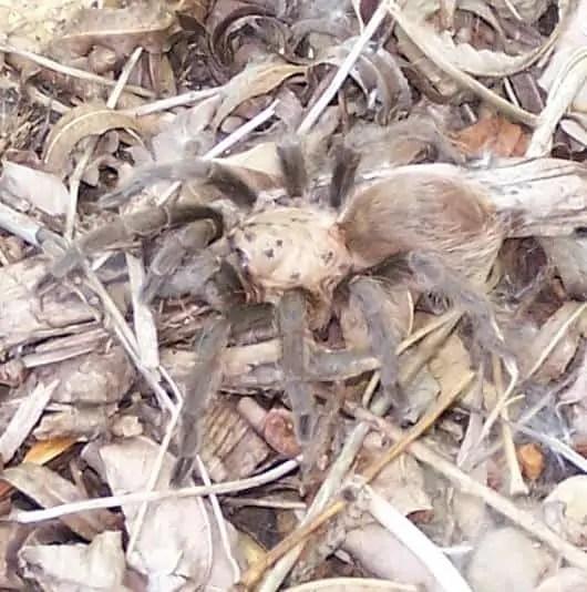 Tarantula hentzi