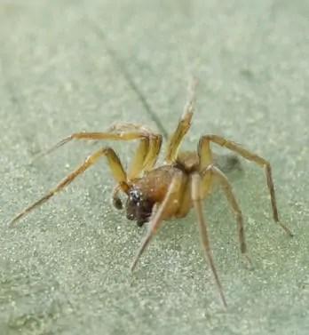 Broad Face Sac Spider trachelas transquilus