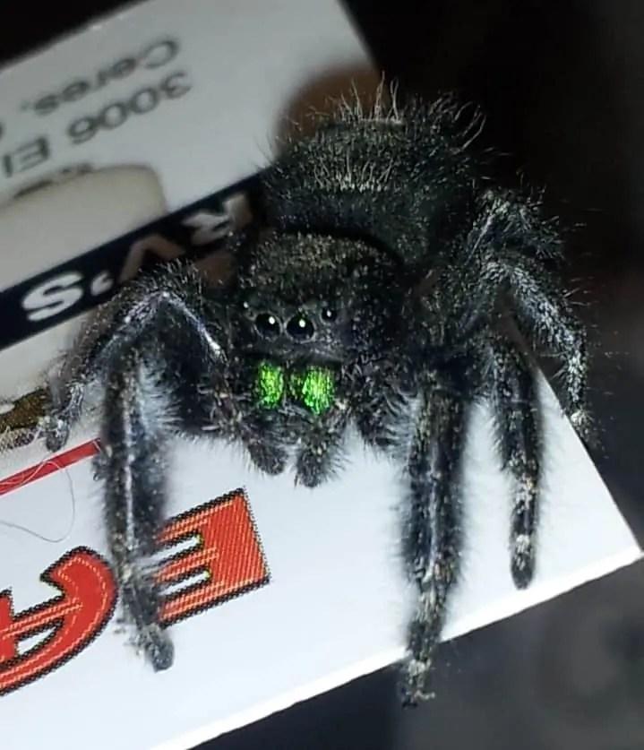 Daring Jumping Spider phidippus audax fangs