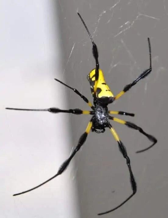 Nephila sp. Liberia