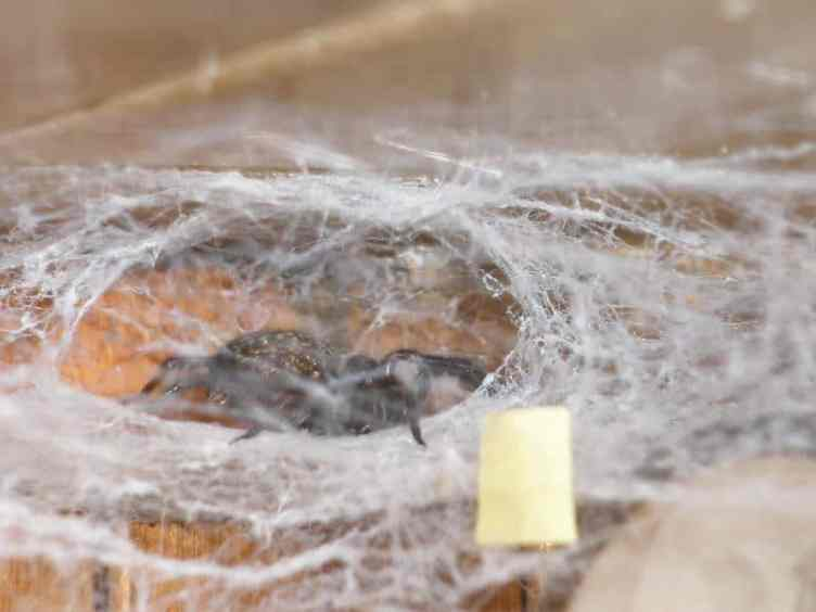 Black House Spider in web
