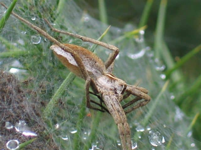 Nursery Web Weaver in web
