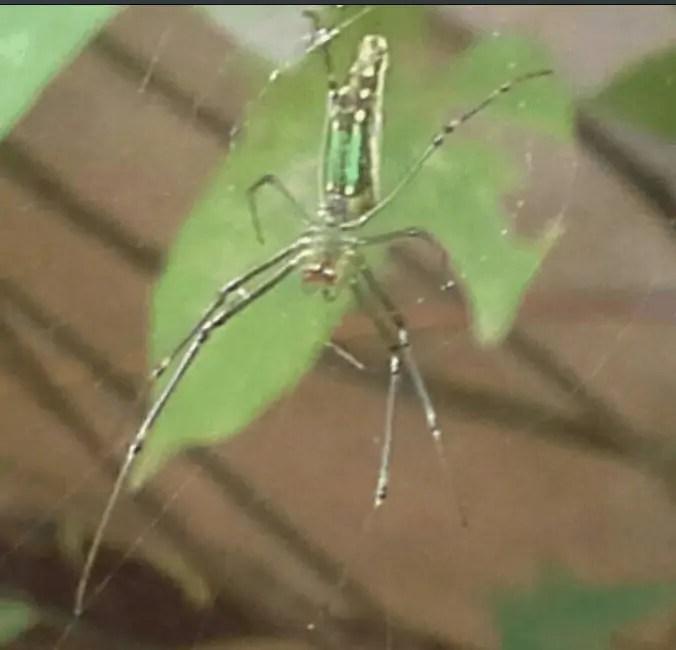 Nephila Mozambique