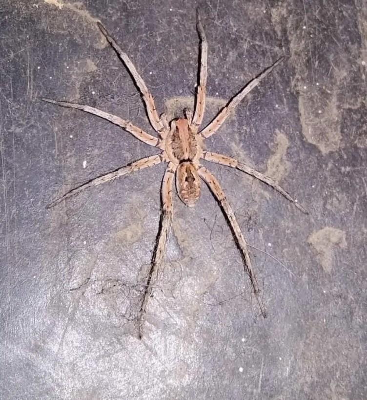 Zoropsis Spinimana
