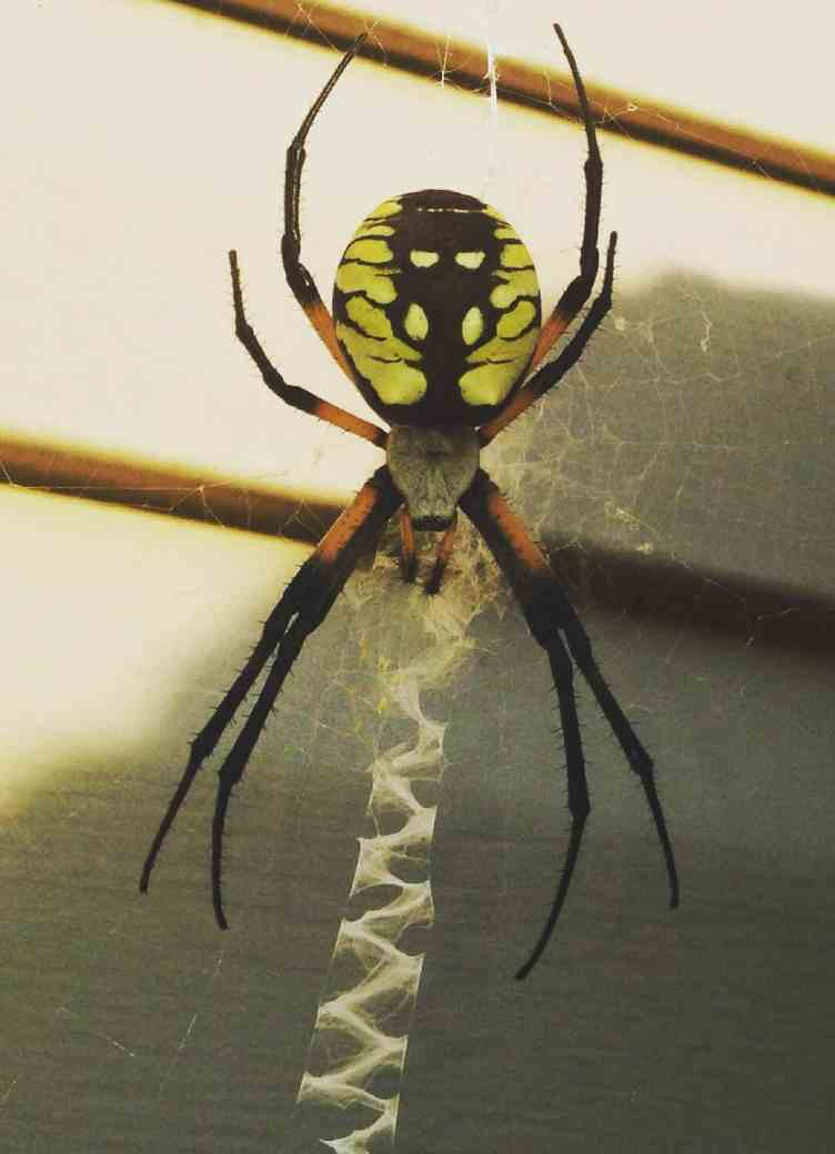 Black and Yellow Argiope with web