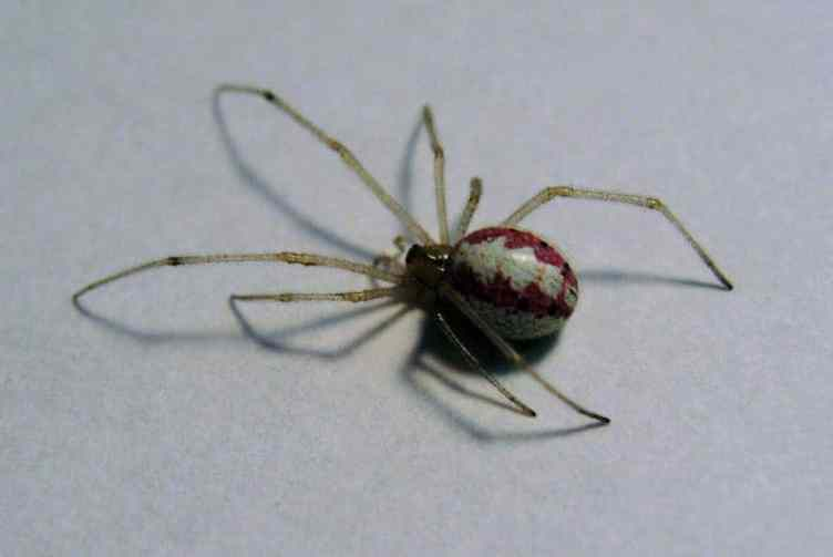 Candy Stripe Spider