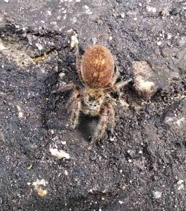 Jumping Spider brown