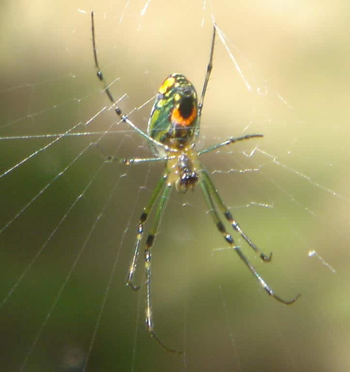 Venusta Orchard Spider leucage in web orange green long legs dorsal view