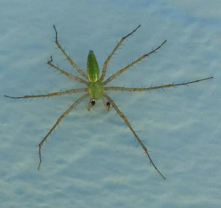 Male Green Lynx Spider 15