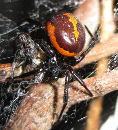 False Widow Iran orange brown asia closeup