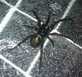Steatoda Nobilis false black widow united kingdom