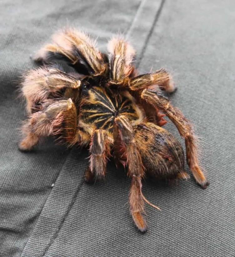 Tarantula red hairy legs