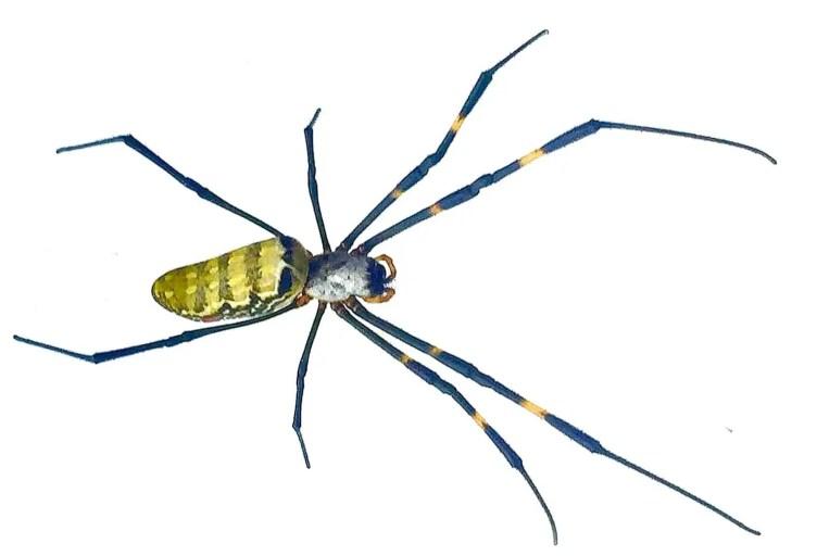 Nephila sp. Sikkim