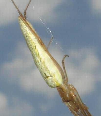 Long Jawed Orb Weaver yellow