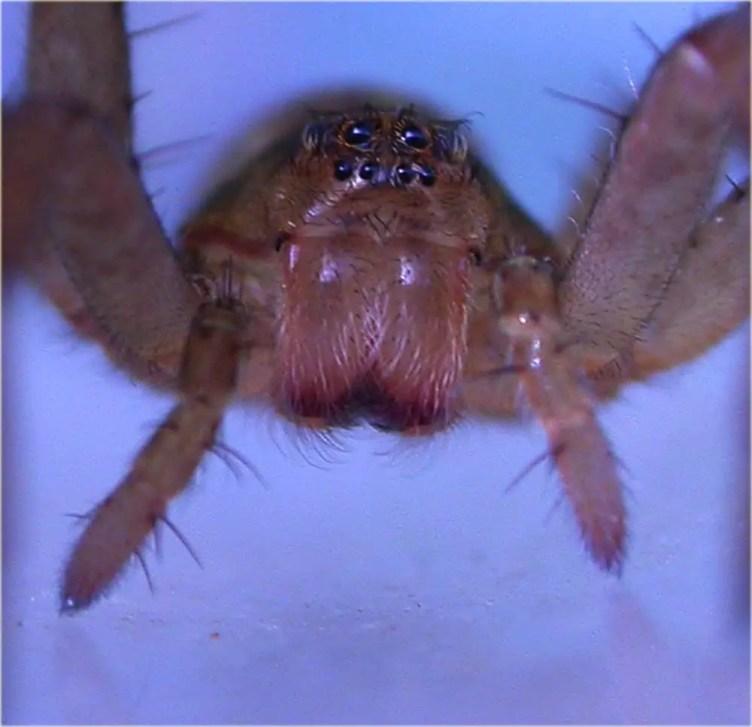 Giant Raft Spider 3