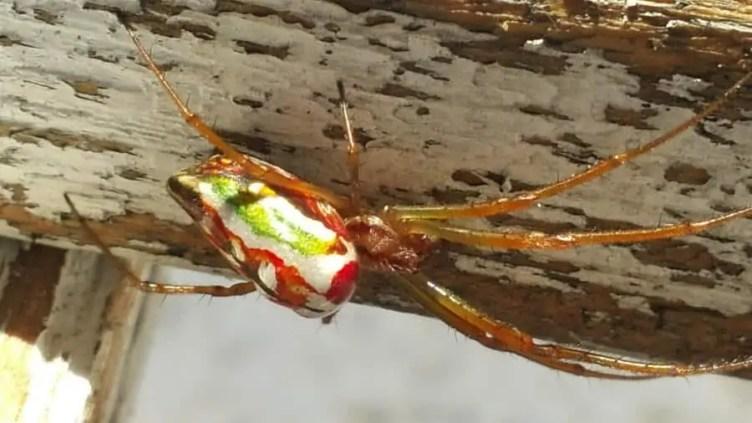 Festive Silver Marsh Spider